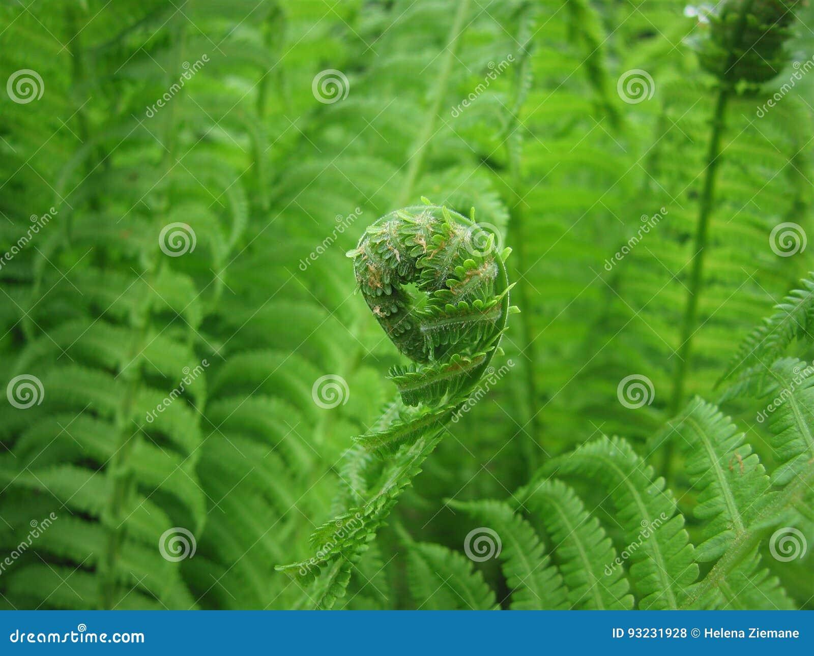 Vita gröna isolerade leaves för fern