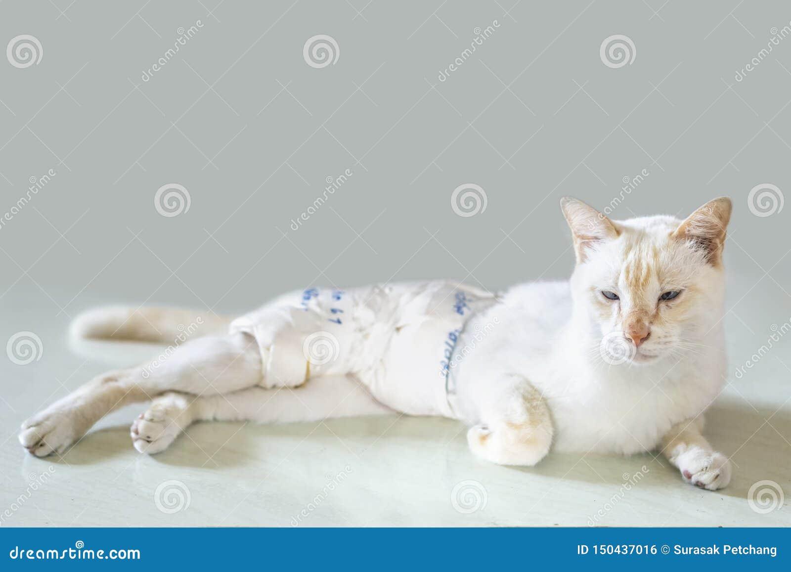 Vita katter sårades, och slåget in in förbinder Återfå krafter satt eller lögnen på jordning