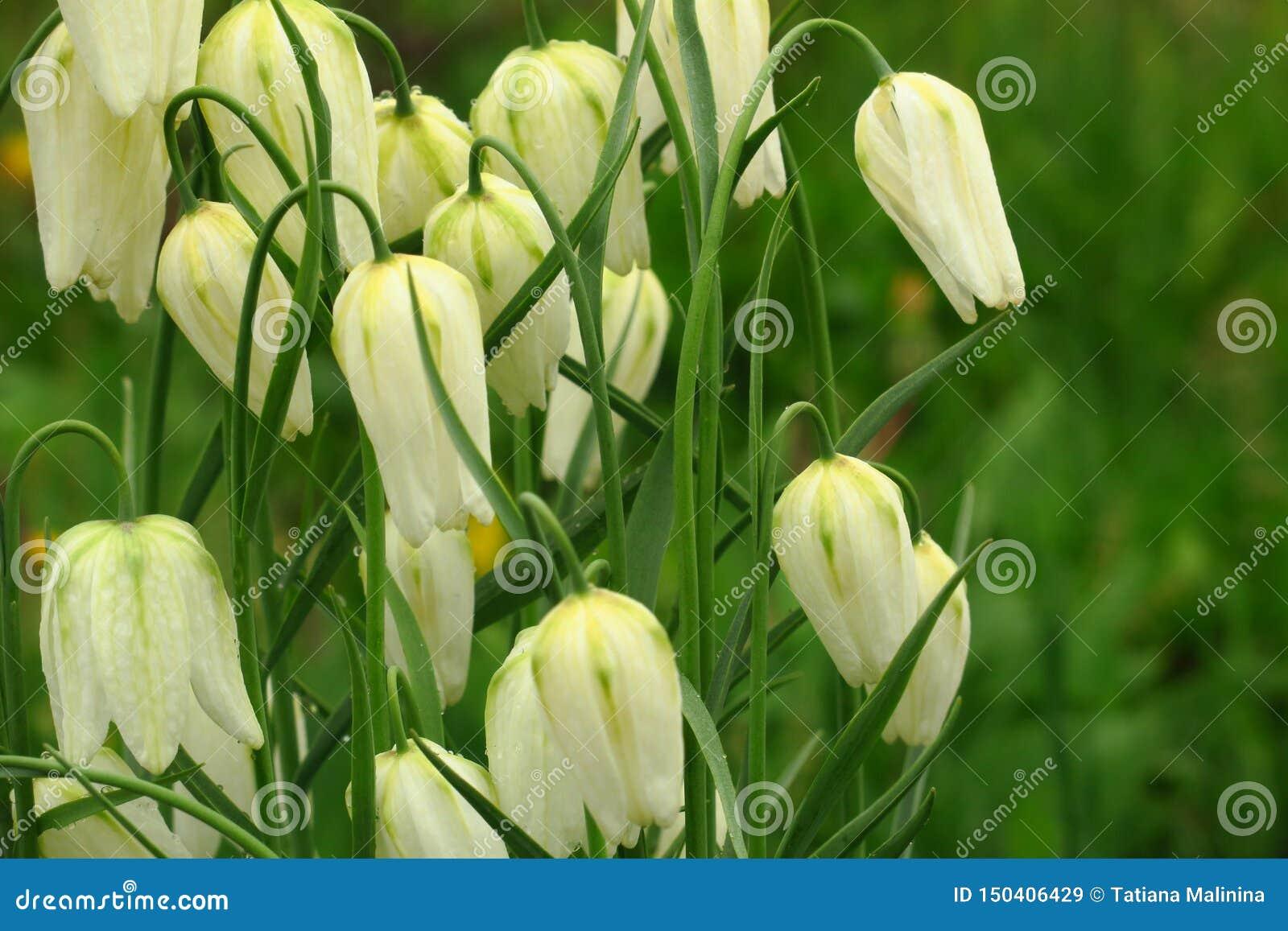 Vita klockor blommade i parkerar mot bakgrunden av grönt gräs