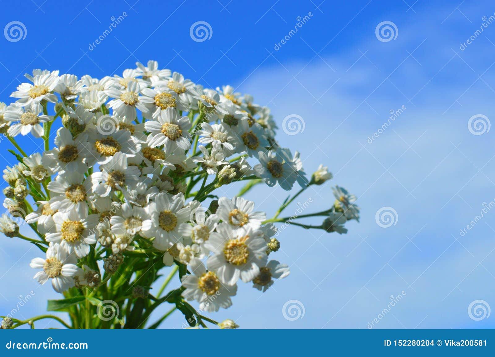 Vita lösa kamomillar för en bukett mot bakgrunden av den blåa himlen