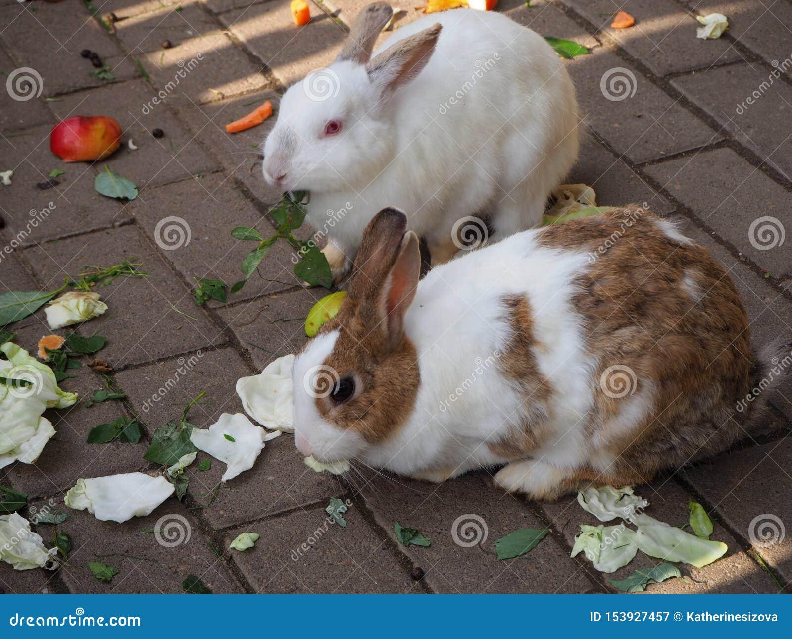 Vita och bruna inhemska kaniner som äter kål och gröna sidor