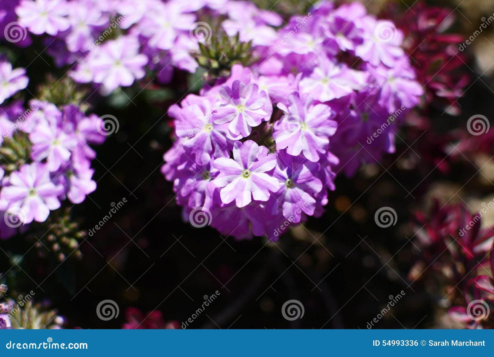 Vita och lila verbenablommor