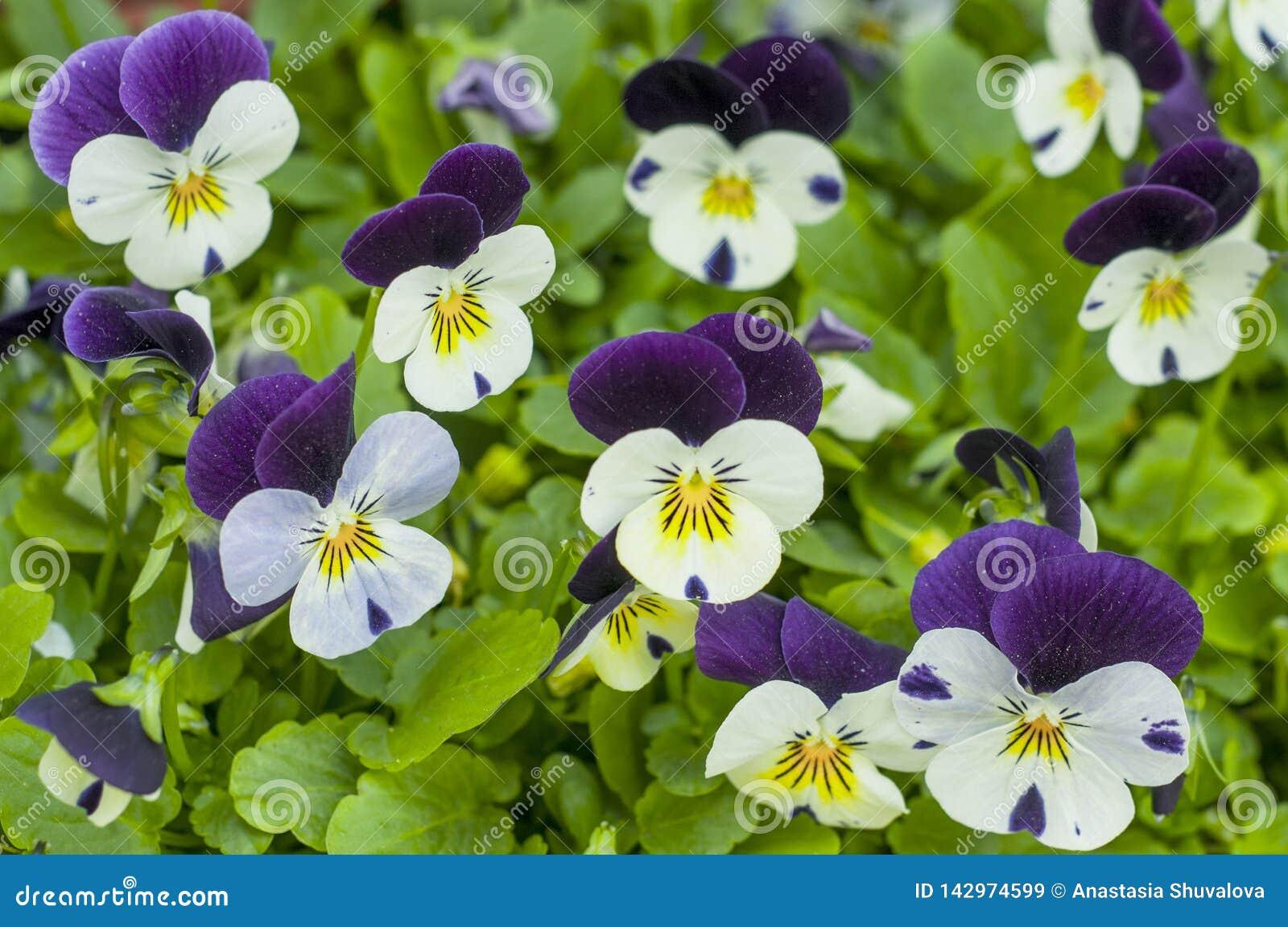 Vita och purpurfärgade pansies i en vårträdgård Den ljusa färgrika penséen blommar på en sommarbakgrund