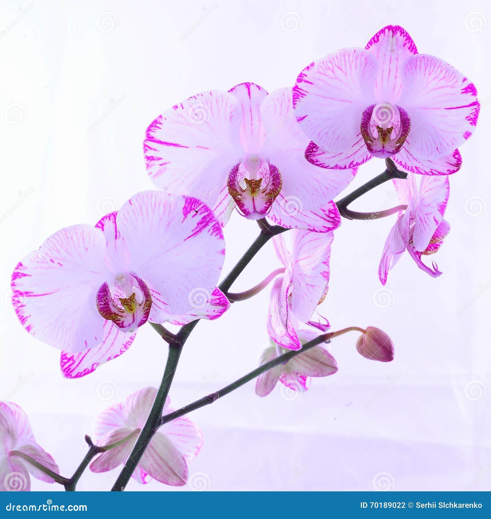 Vita och rosa orkidér på en filial Vit bakgrund