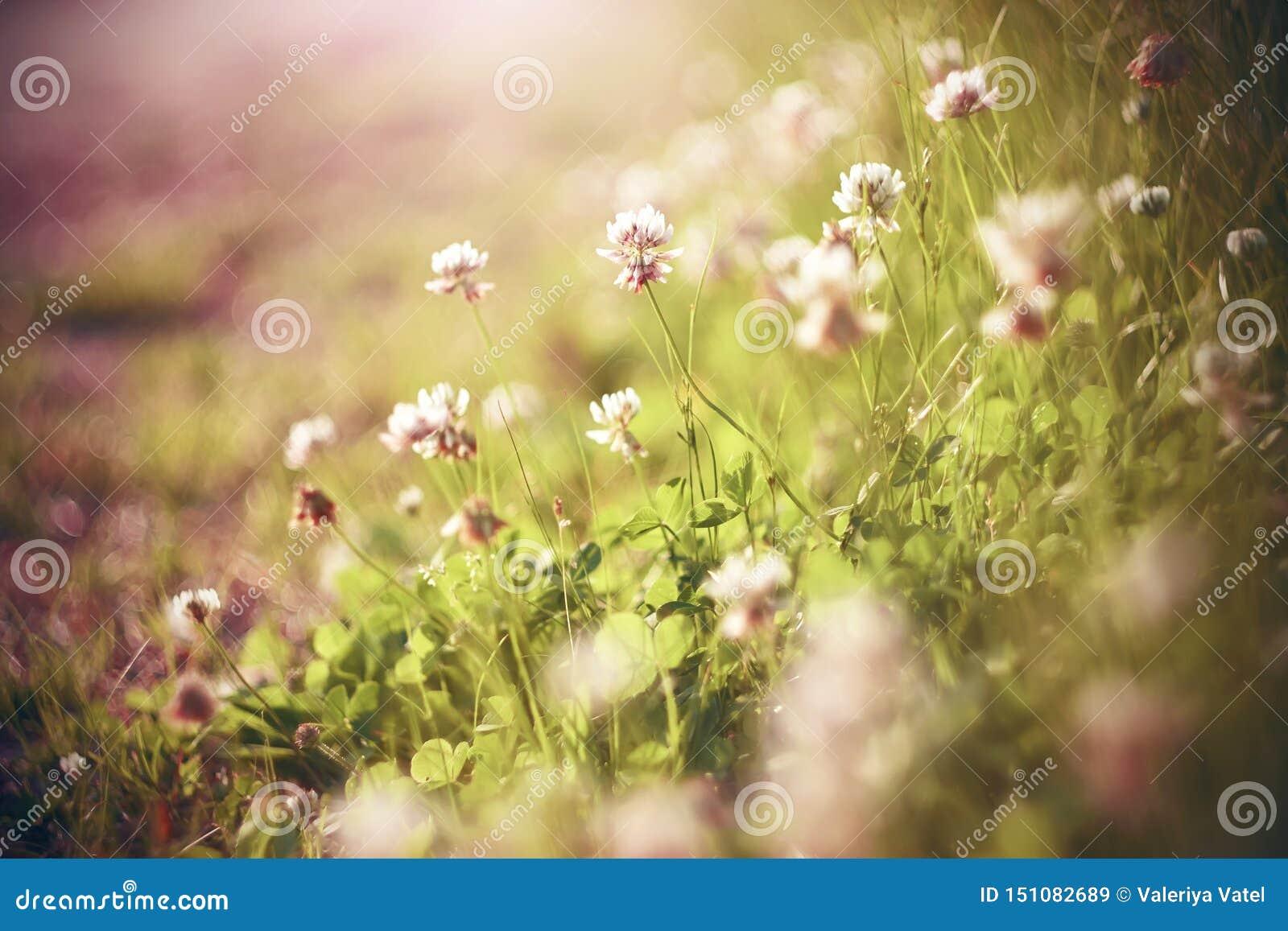 Vita och rosa växt av släktet Trifoliumblommor blommar i den solbelysta ängen