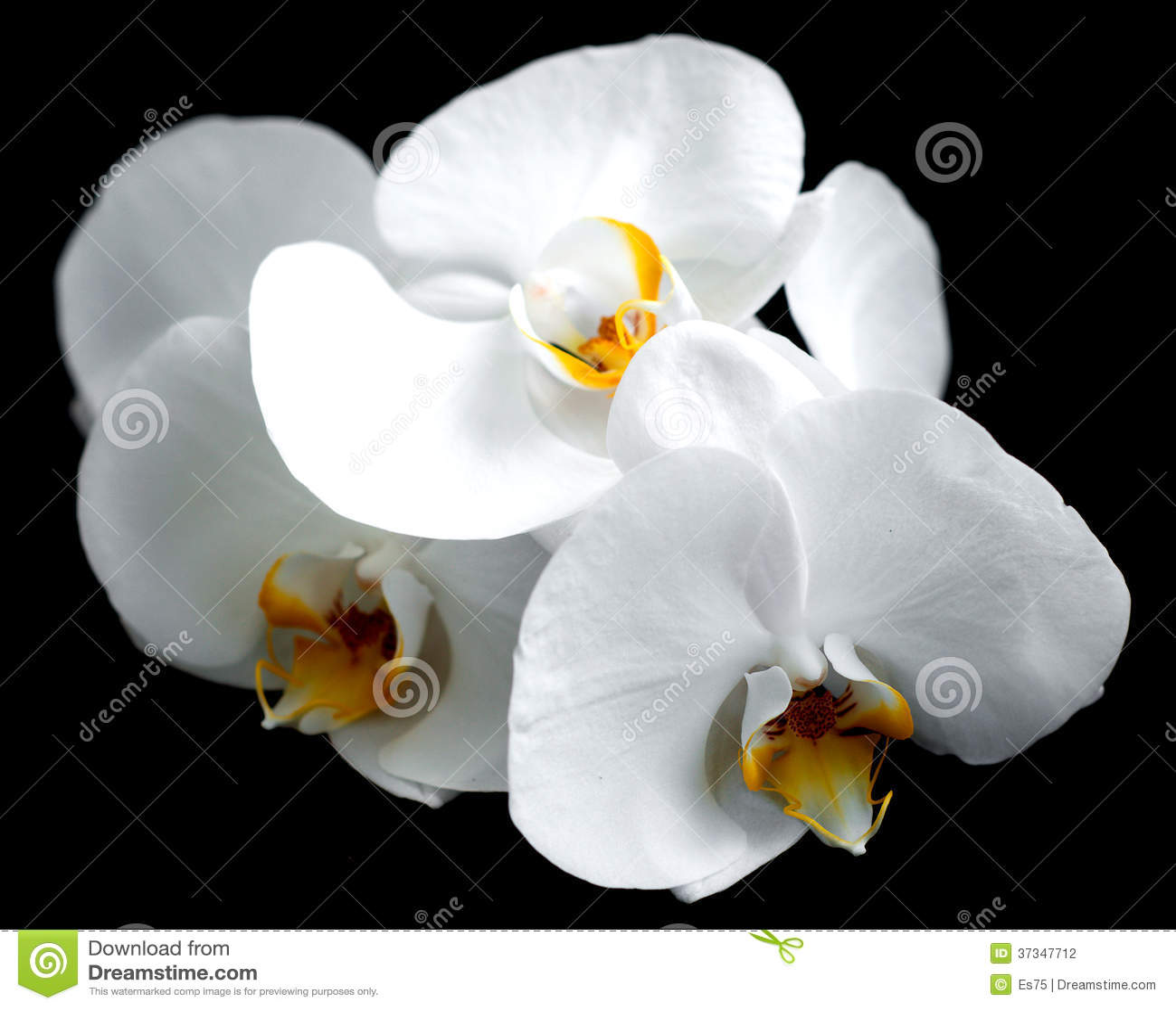 Vita orkidér
