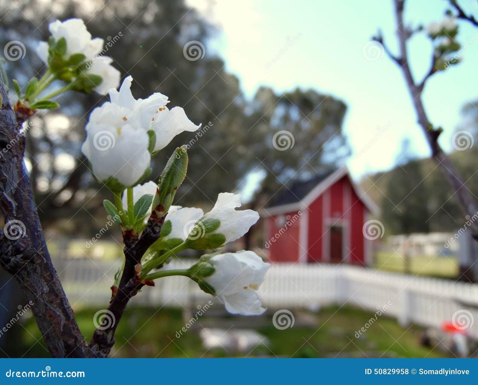 Vita Plum Tree Blossoms Country Setting