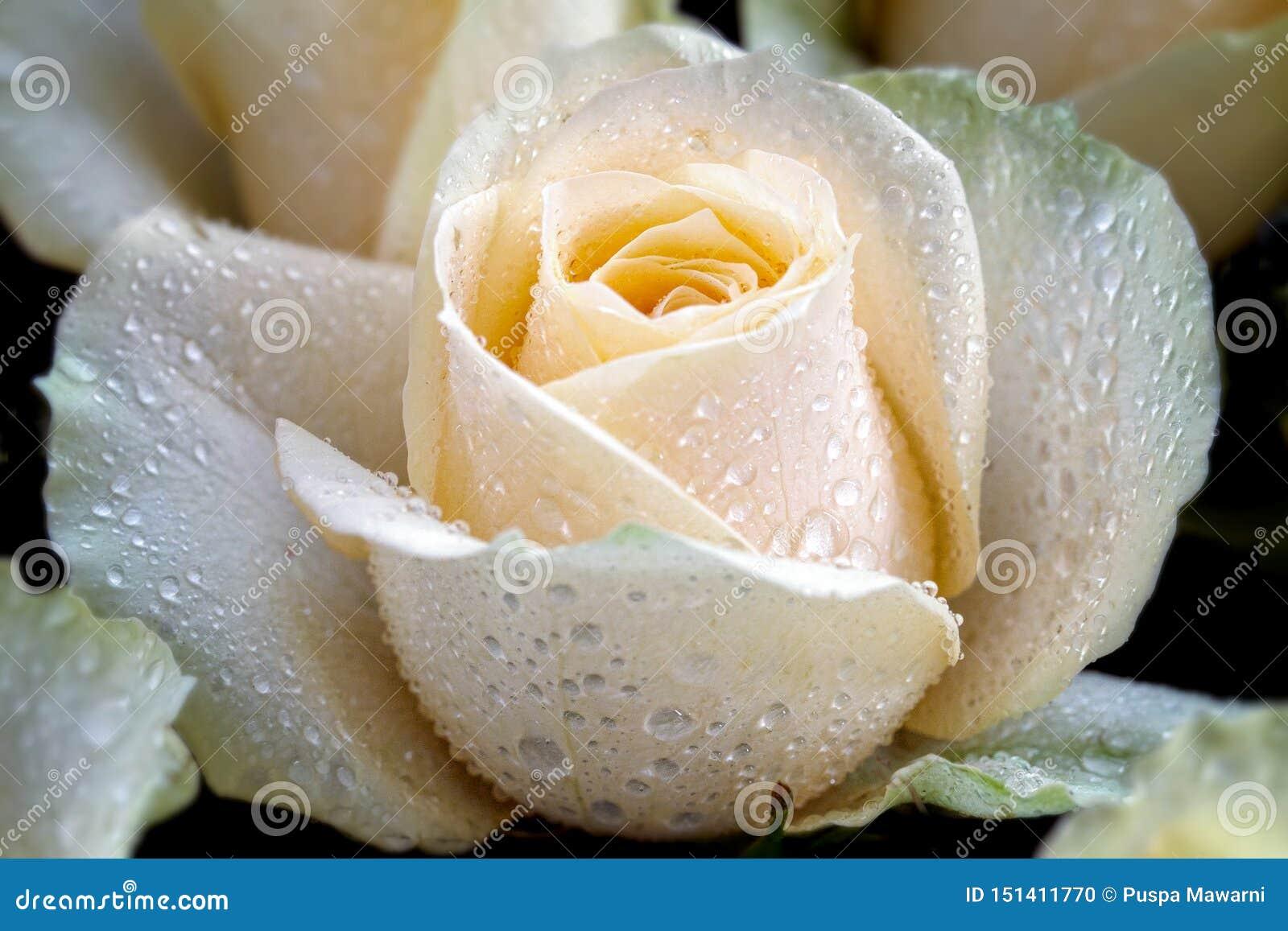 Vita rosor med kronbladdetaljer och daggdetaljen på rosor gör rosorna att se så härliga och majestätiska