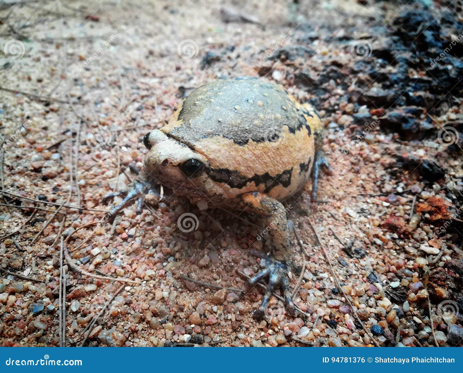 Vita selvaggia ed animale di rana catesbeiana della rana toro e del rospo e stile alle attrazioni turistiche della cima del ` s d