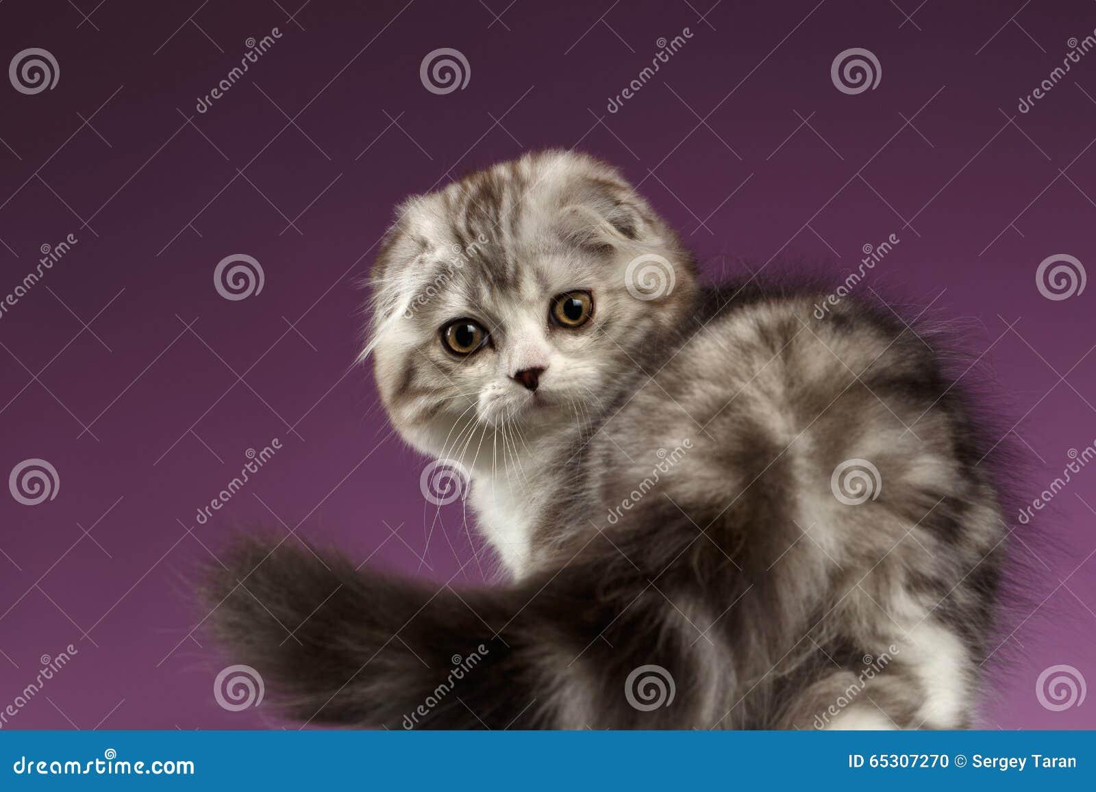Vita Tabby Scottish Fold Kitten Playing med svansen på lilor