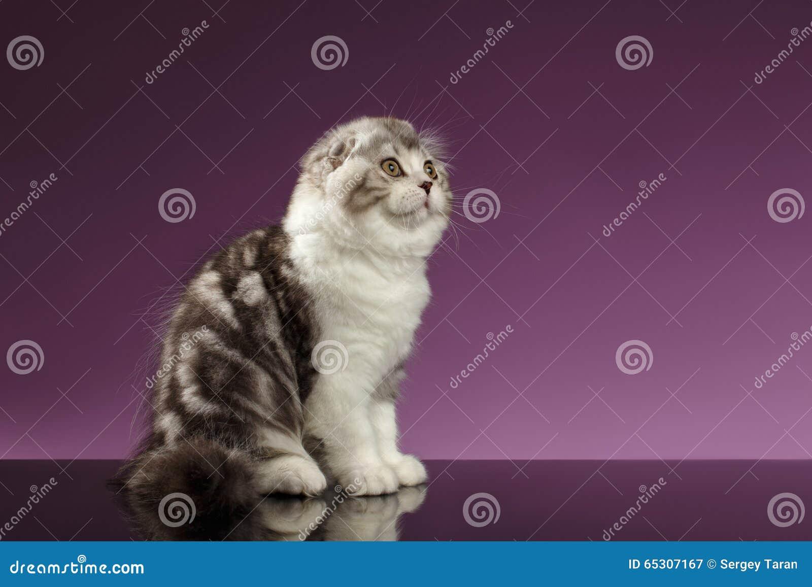 Vita Tabby Scottish Fold Kitten Sits och se upp
