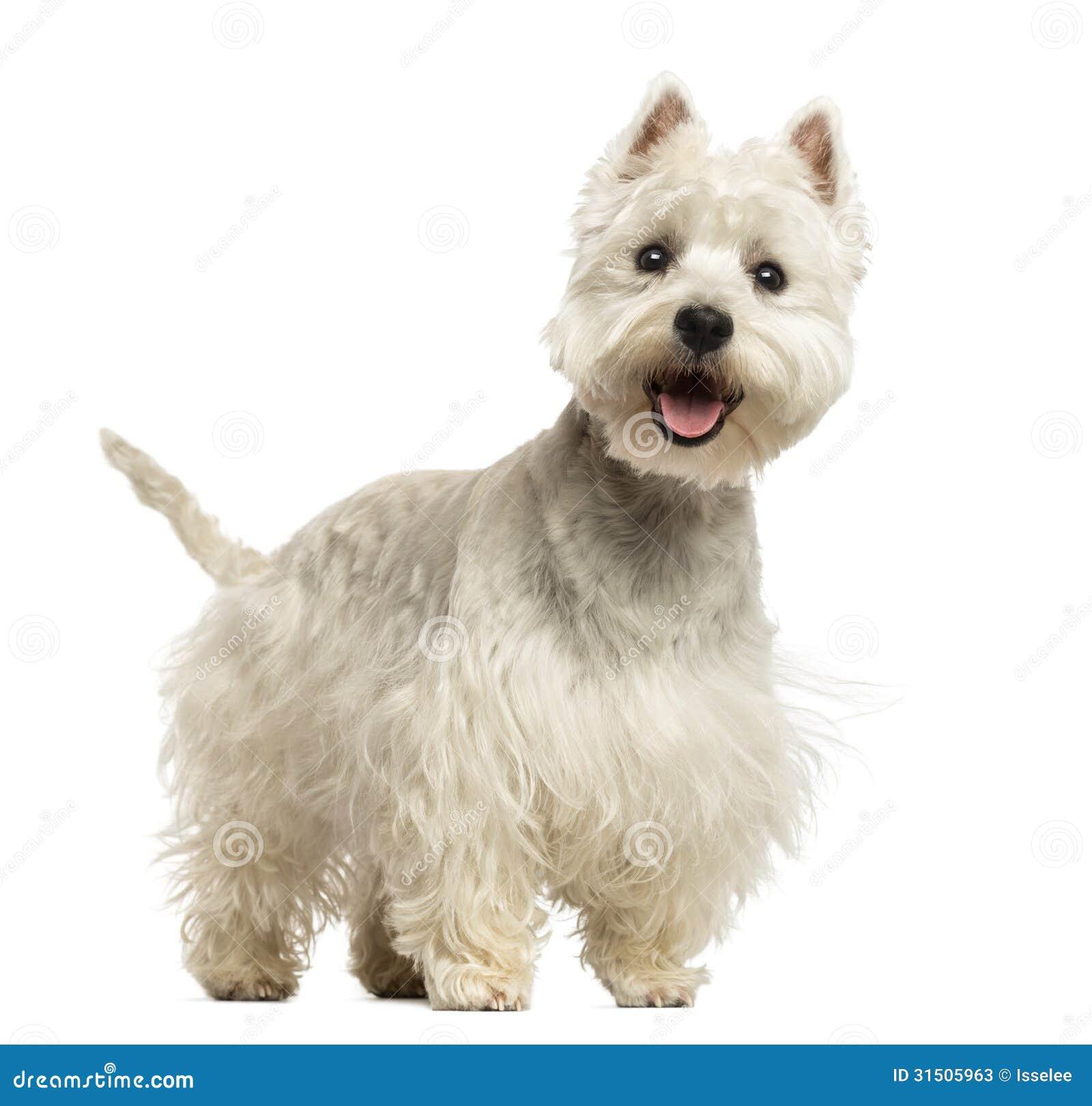 Vita Terrier för västra högland som flåsa ser lyckligt, 18 månader