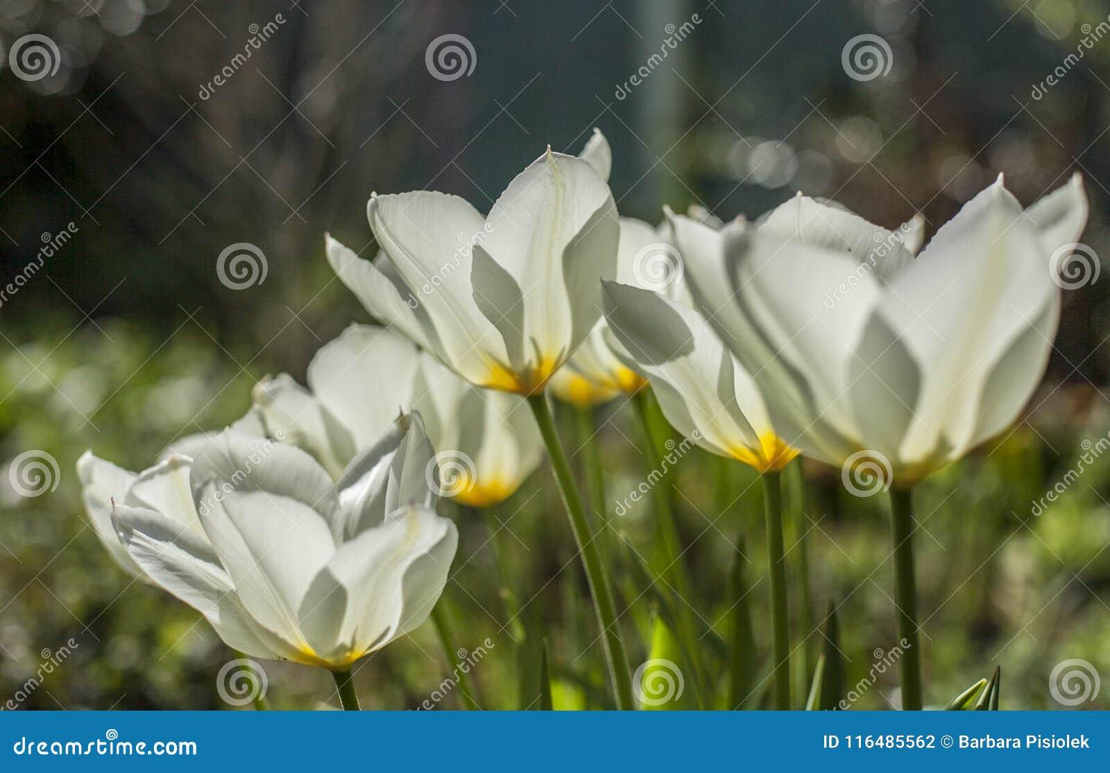 Vita tulpan på en solig dag, ljust och ljust