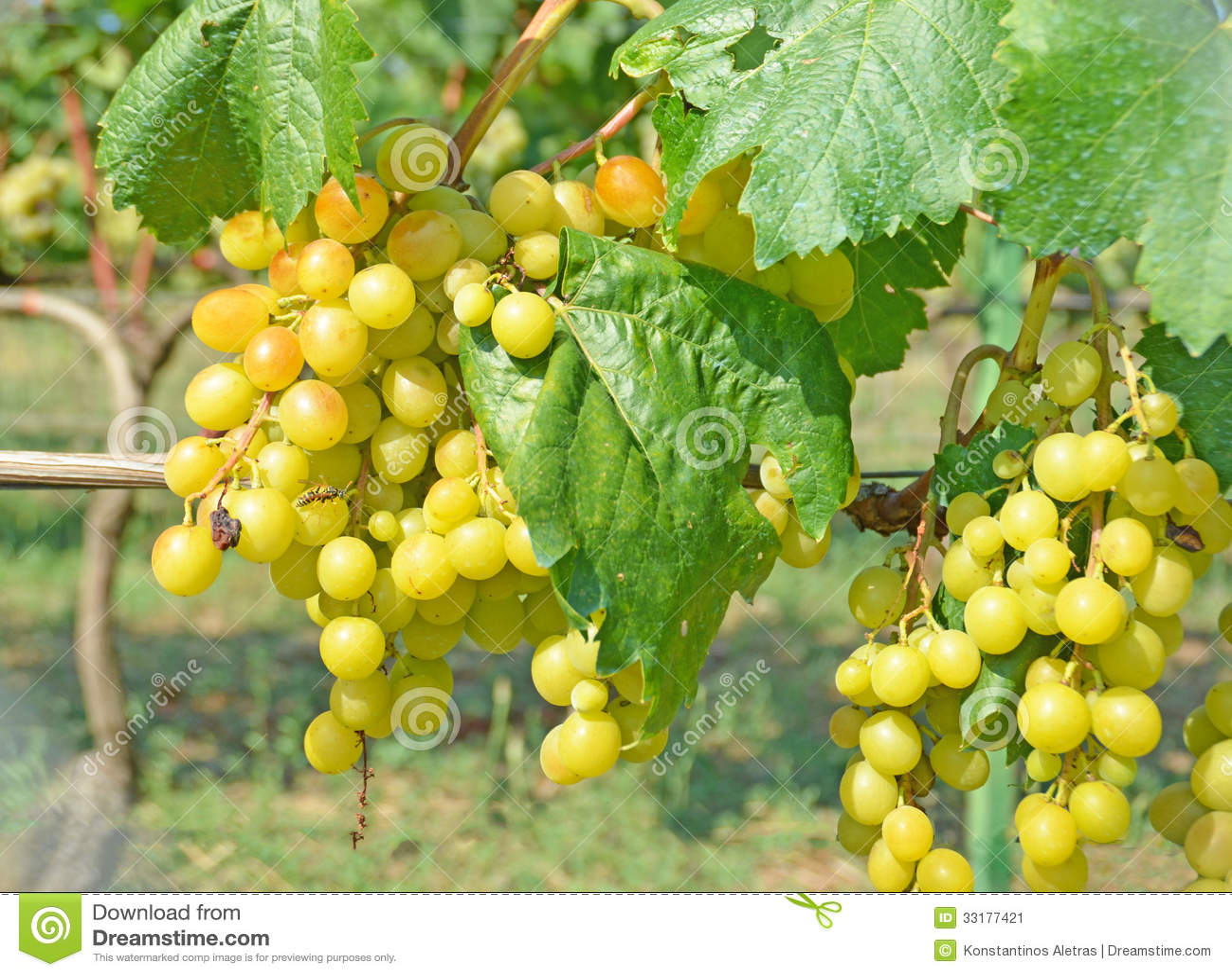 Vita vindruvor