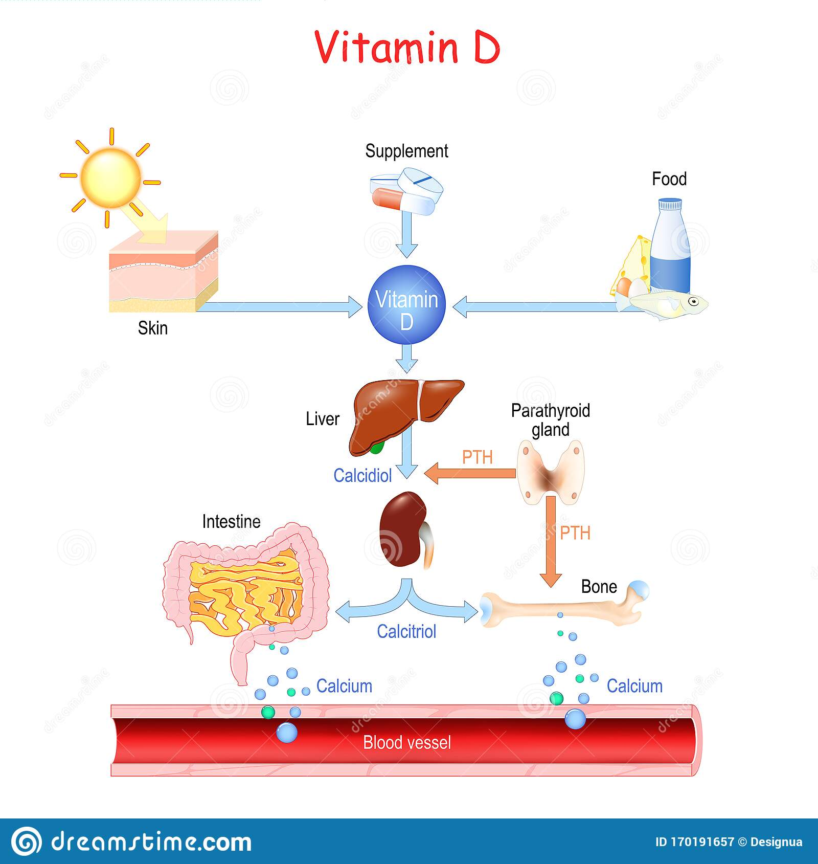 Vitamin D Sources Metabolism And Organs That Regulate The Level Of Calcium In The Blood Stock Vector Illustration Of Absorption Care 170191657