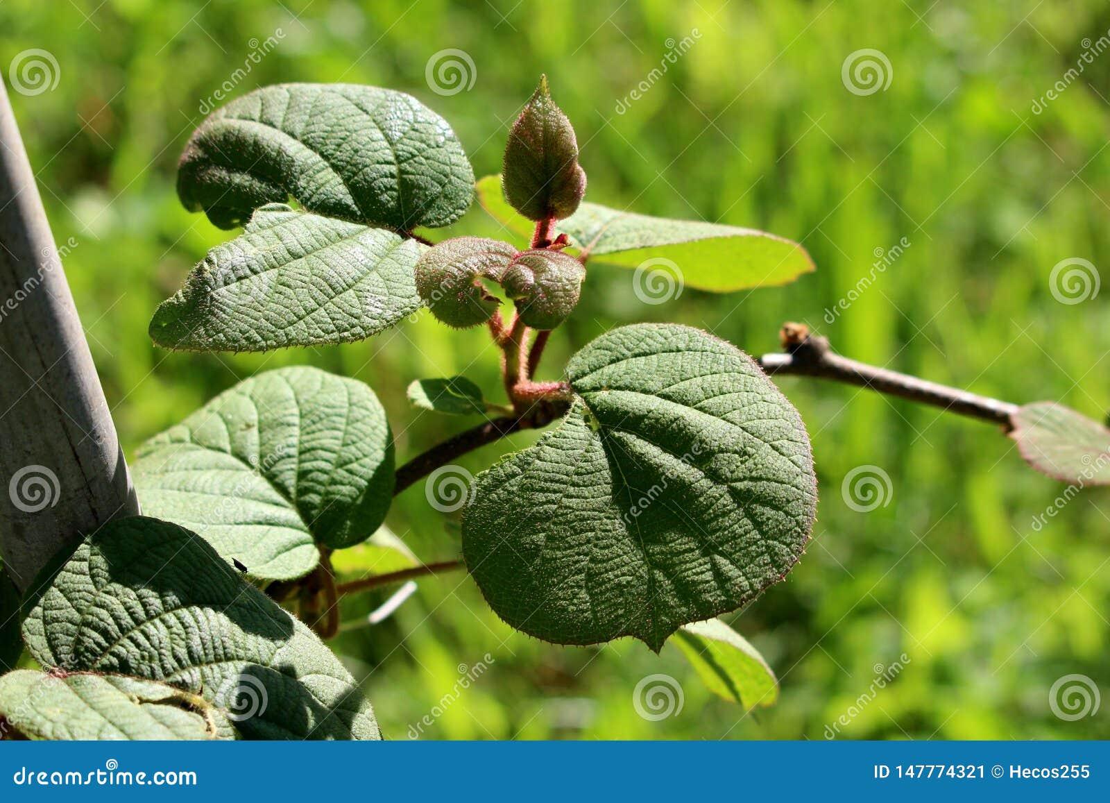 Vite legnosa del kiwi o di kiwi o dell uva spina cinese con verde scuro alle foglie coriacee rosse ed al gambo peloso piantati in
