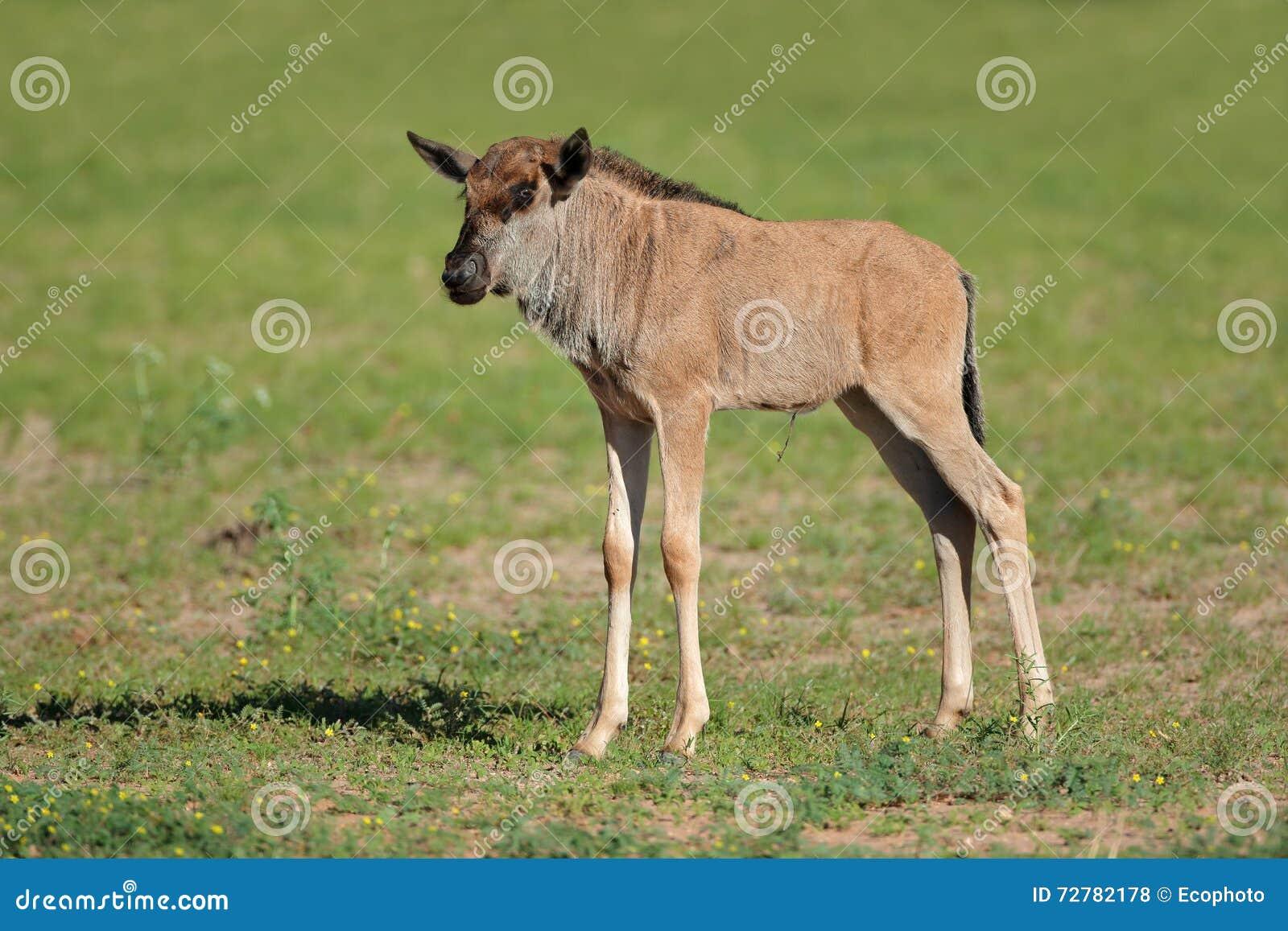 Vitela azul do wildebeest