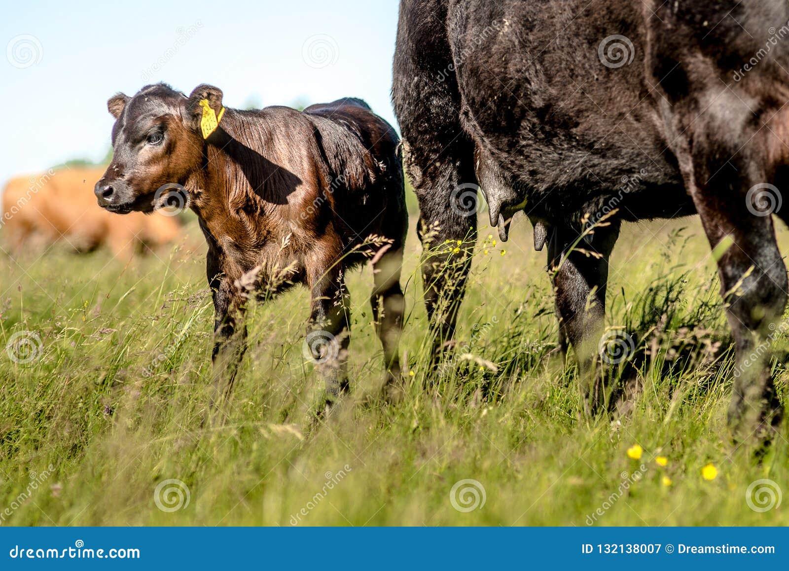 Vitela de angus do preto de Yong perto de sua vaca da mãe na grama no dia ensolarado