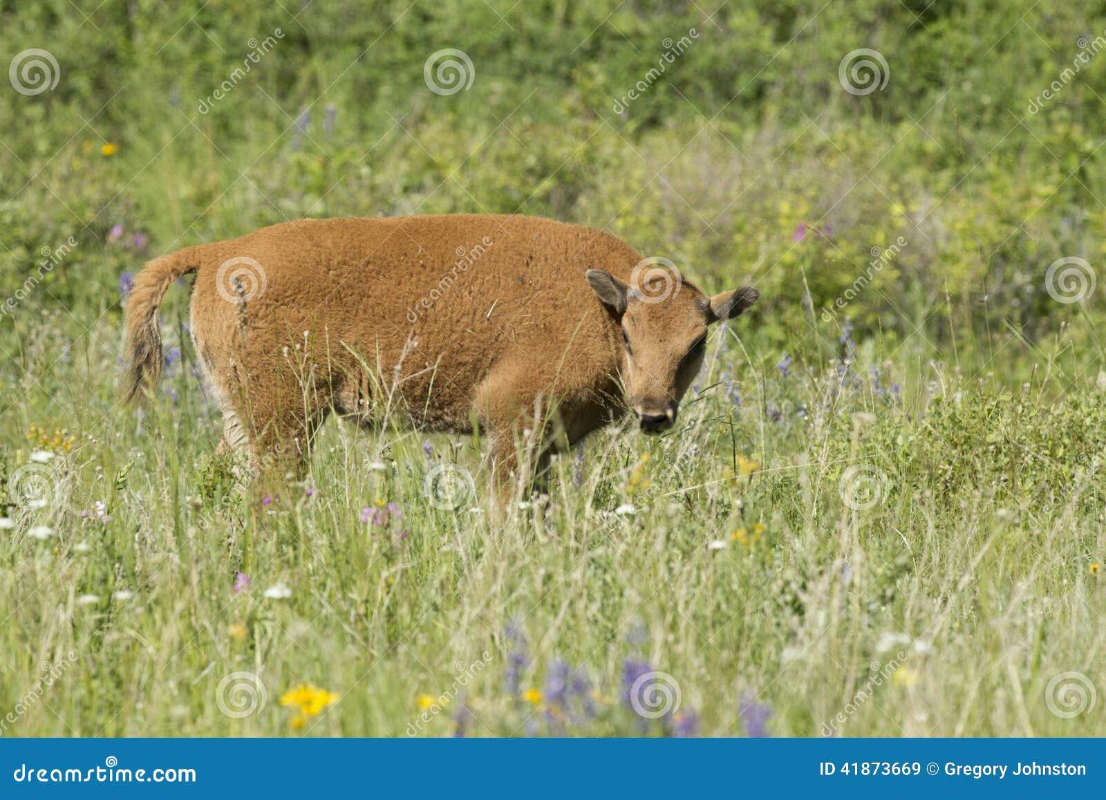 Vitela do bisonte no campo