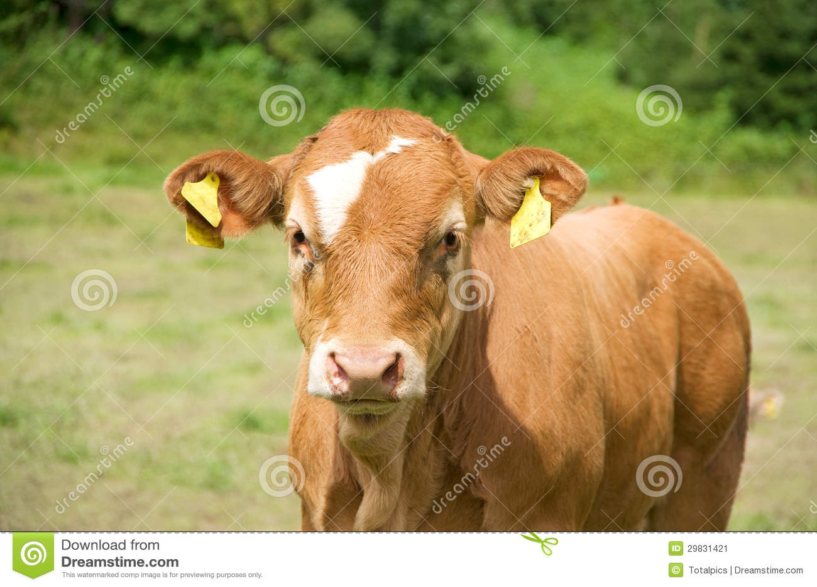 Vitela da vaca