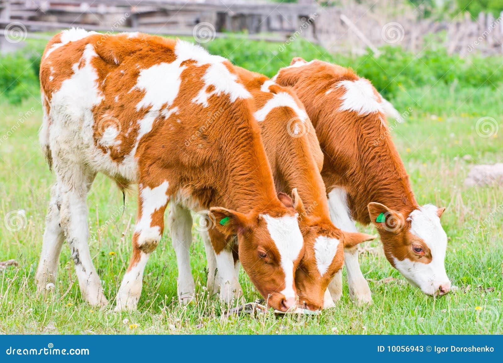 Vitela três que alimenta no gramado