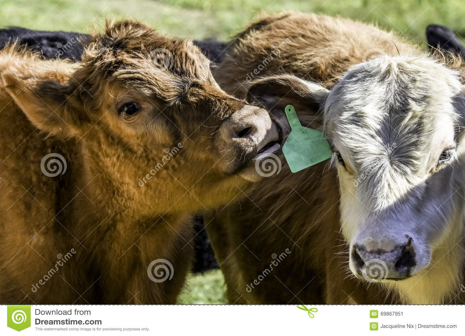 Vitela vermelha que nuzzling a orelha de uma outra vitela
