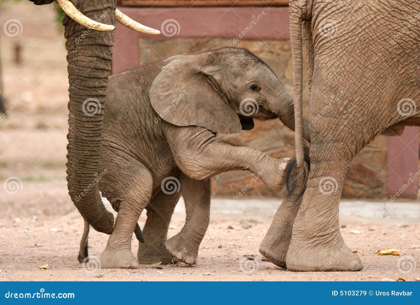 Vitello allegro degli elefanti