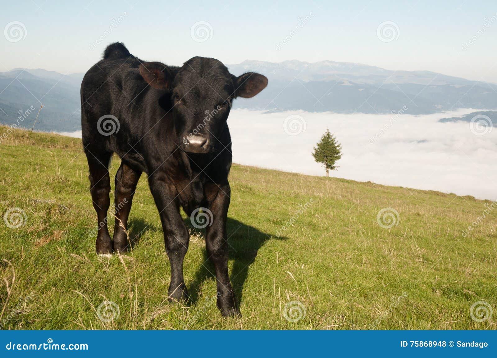 Vitello della mucca che pasce
