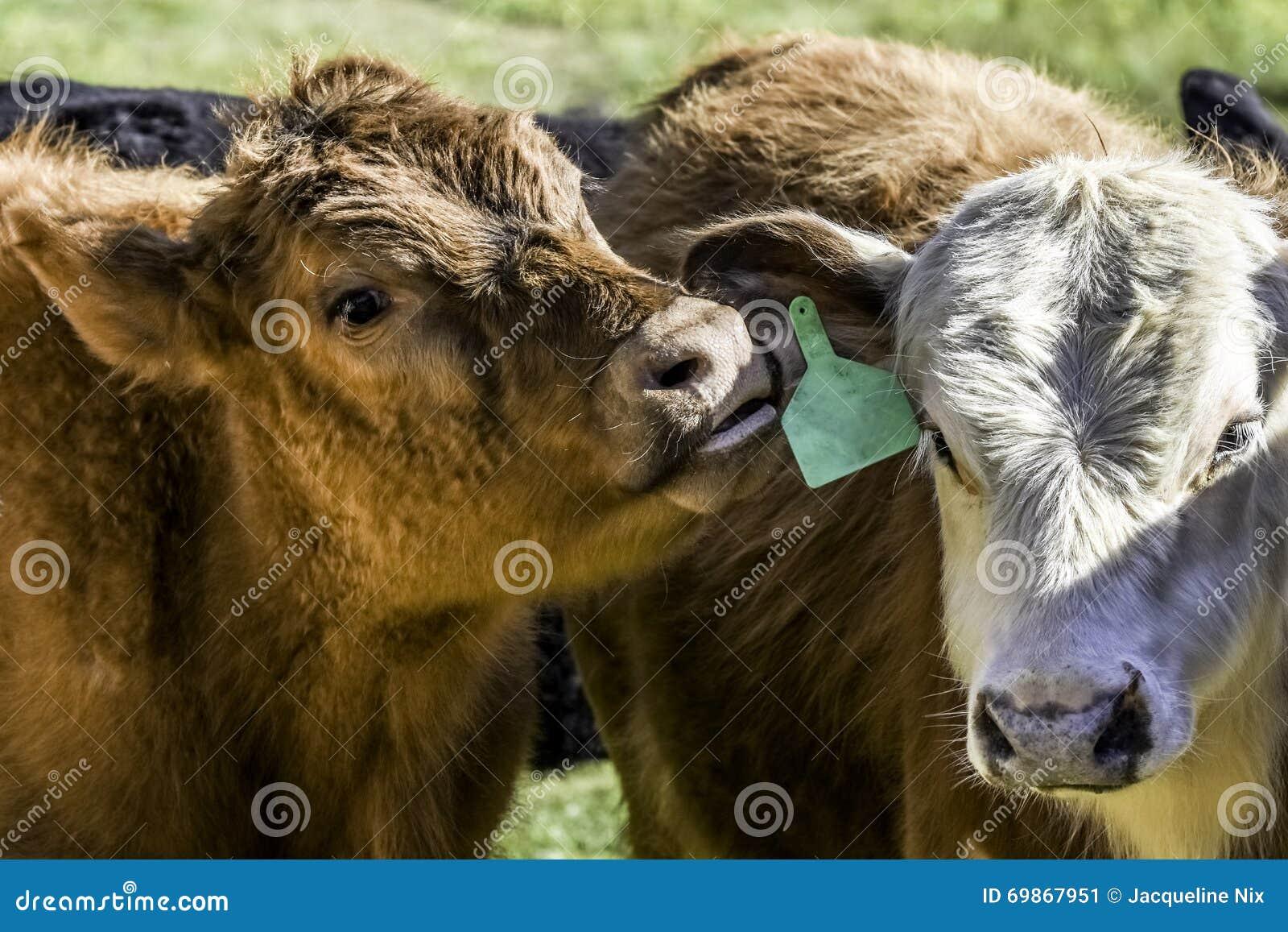 Vitello rosso che fruga l orecchio di un altro vitello