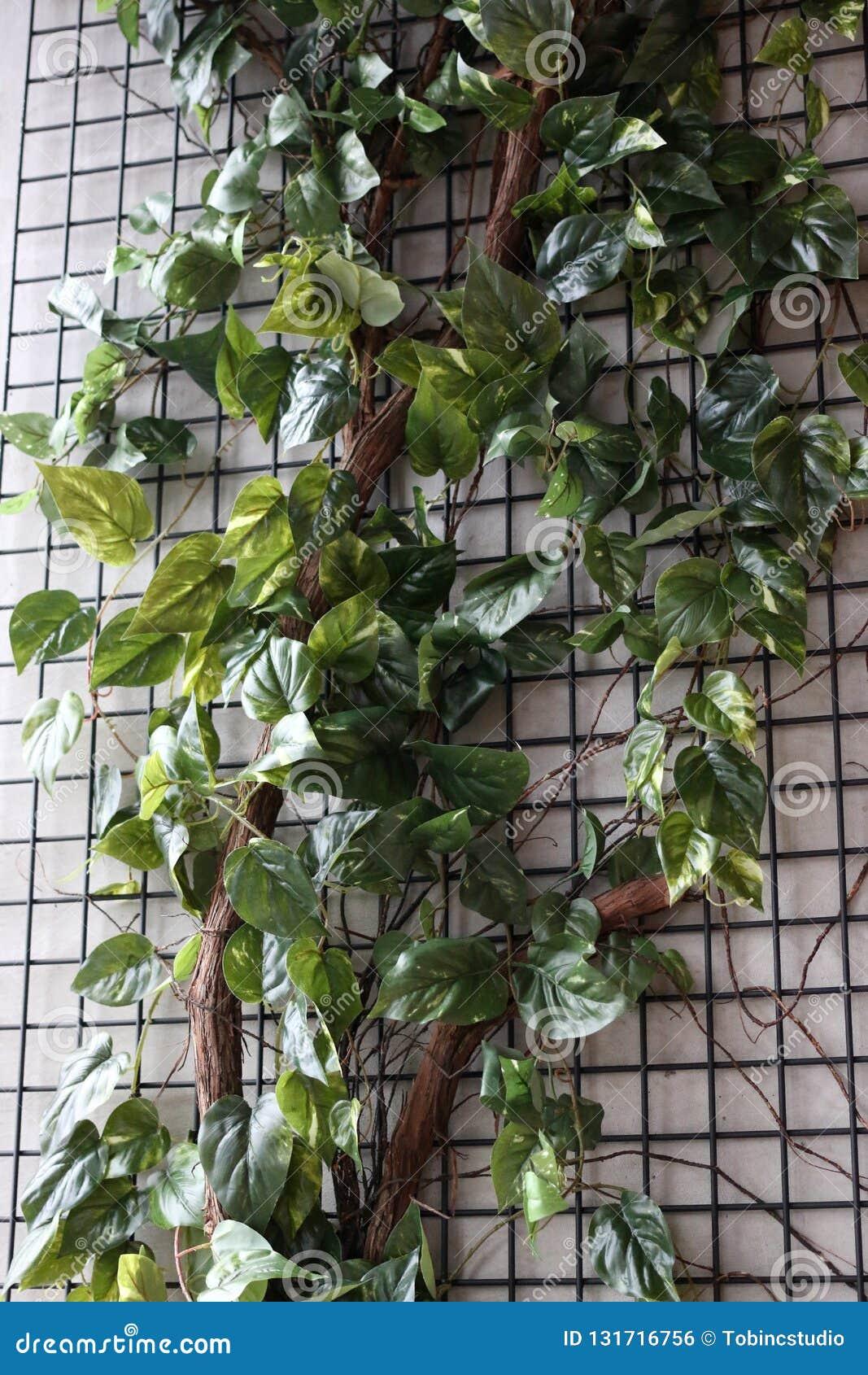 Edera Pianta Da Interno viti rampicanti dell'edera su una parete fotografia stock