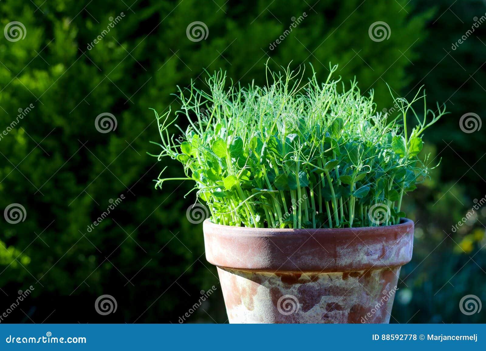 Coltivare Piselli In Vaso viticcio di verde di pisello il giovane pianta i microgreens