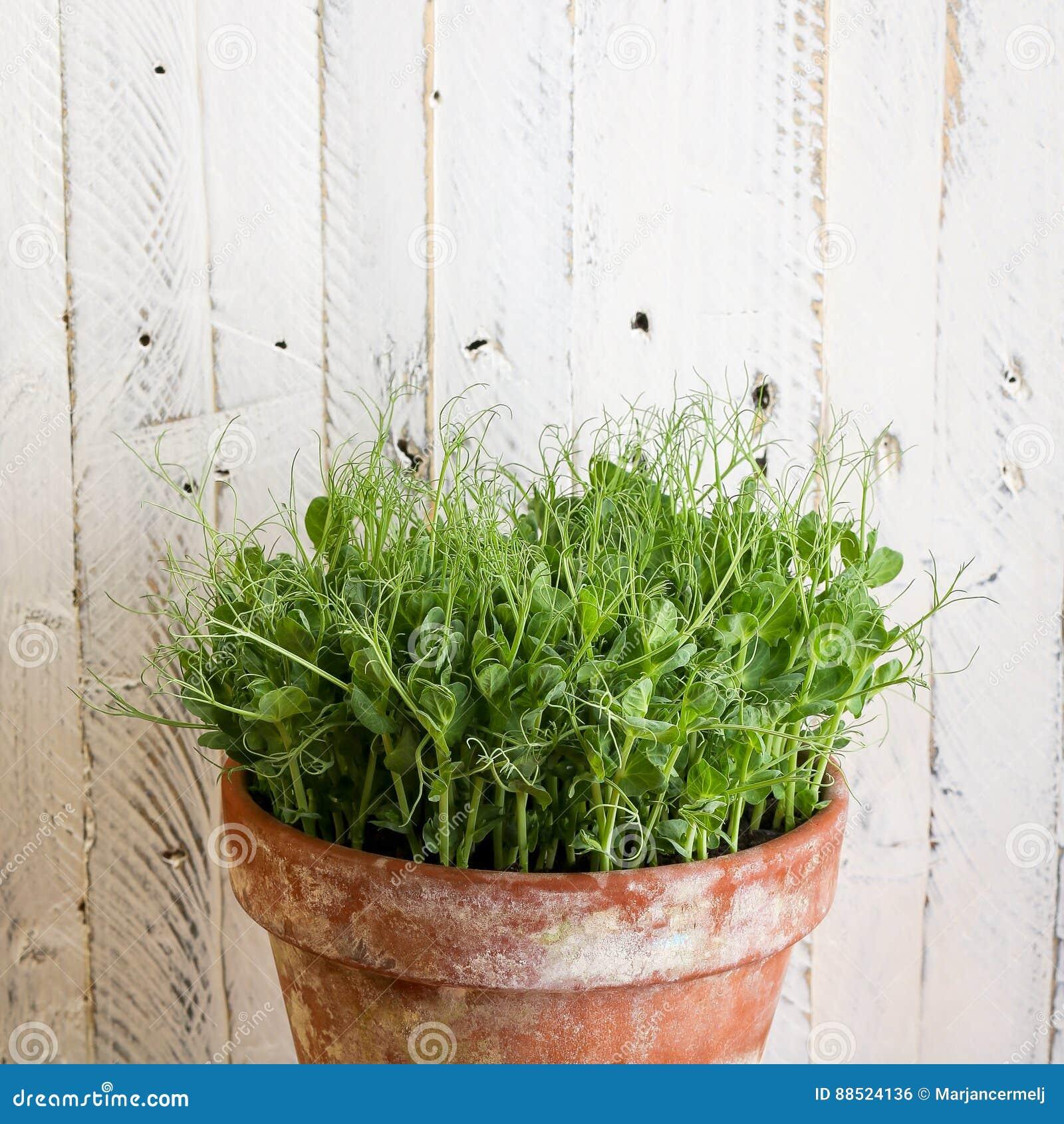 Coltivare Piselli In Vaso viticcio di verde di pisello il giovane pianta i tiri in
