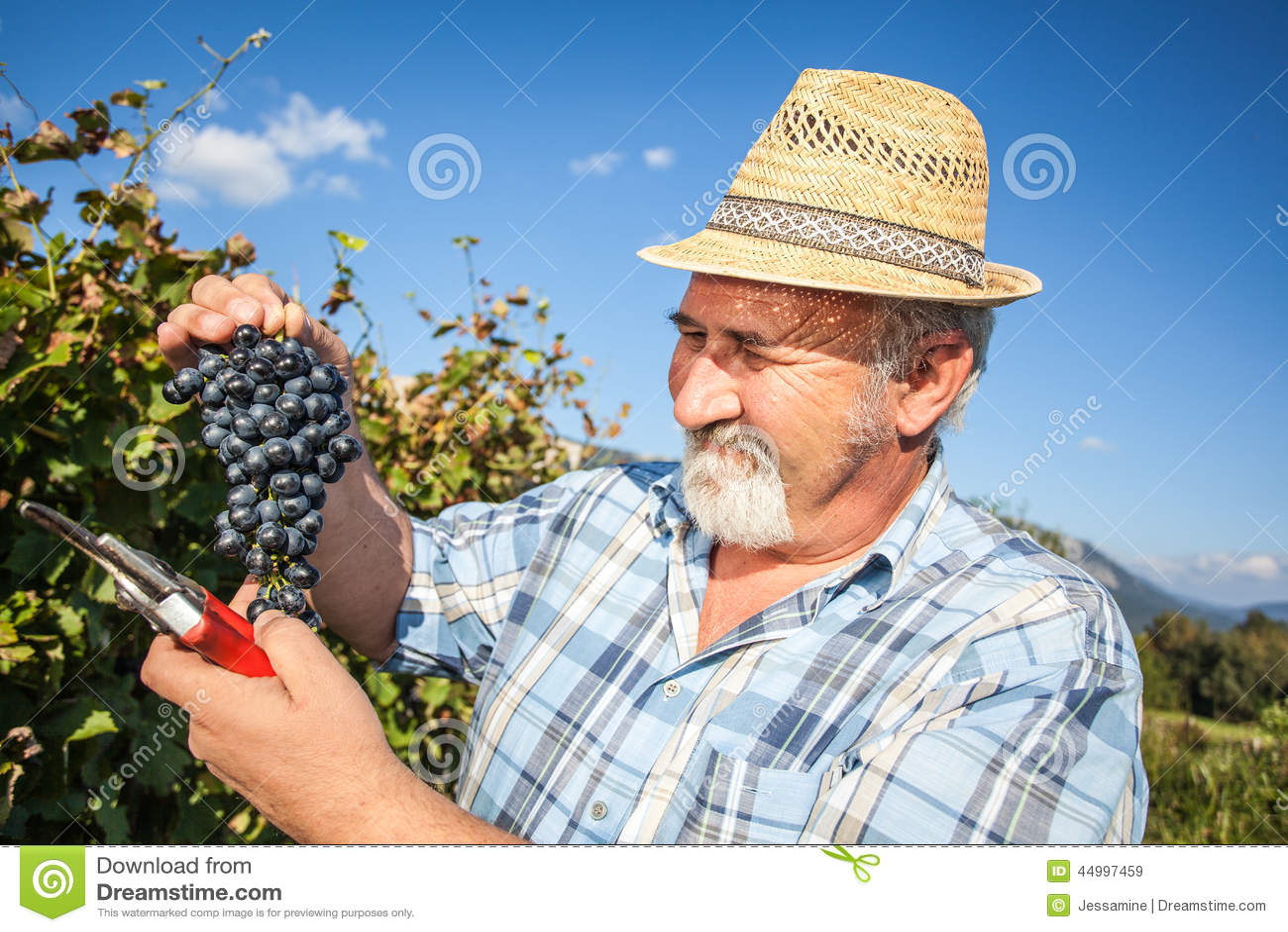 Viticulteur mûr moissonnant les raisins noirs