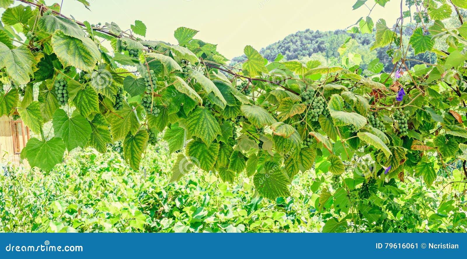 Vitis - vinifera & x28; vine& x29 da uva; o verde sae no sol, fim acima