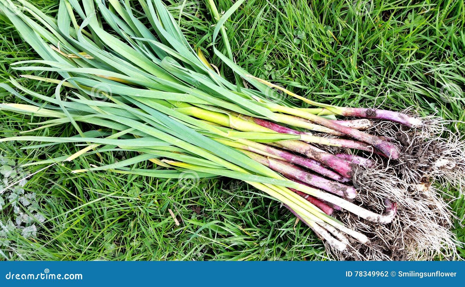 Vitlökväxter