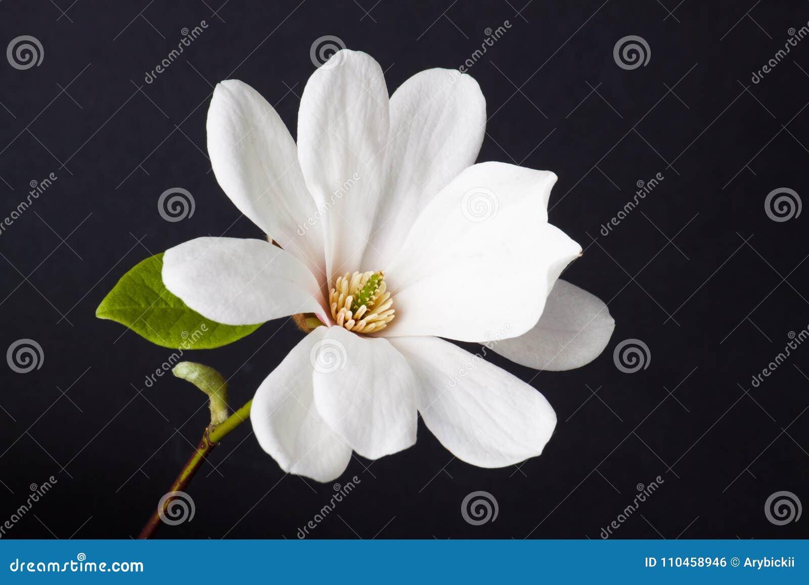 Vitt magnoliaslut upp