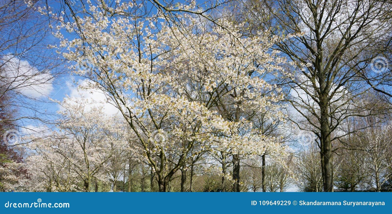 Vitt träd för körsbärsröd blomning mot en blå himmel i Lisse, Netherlan