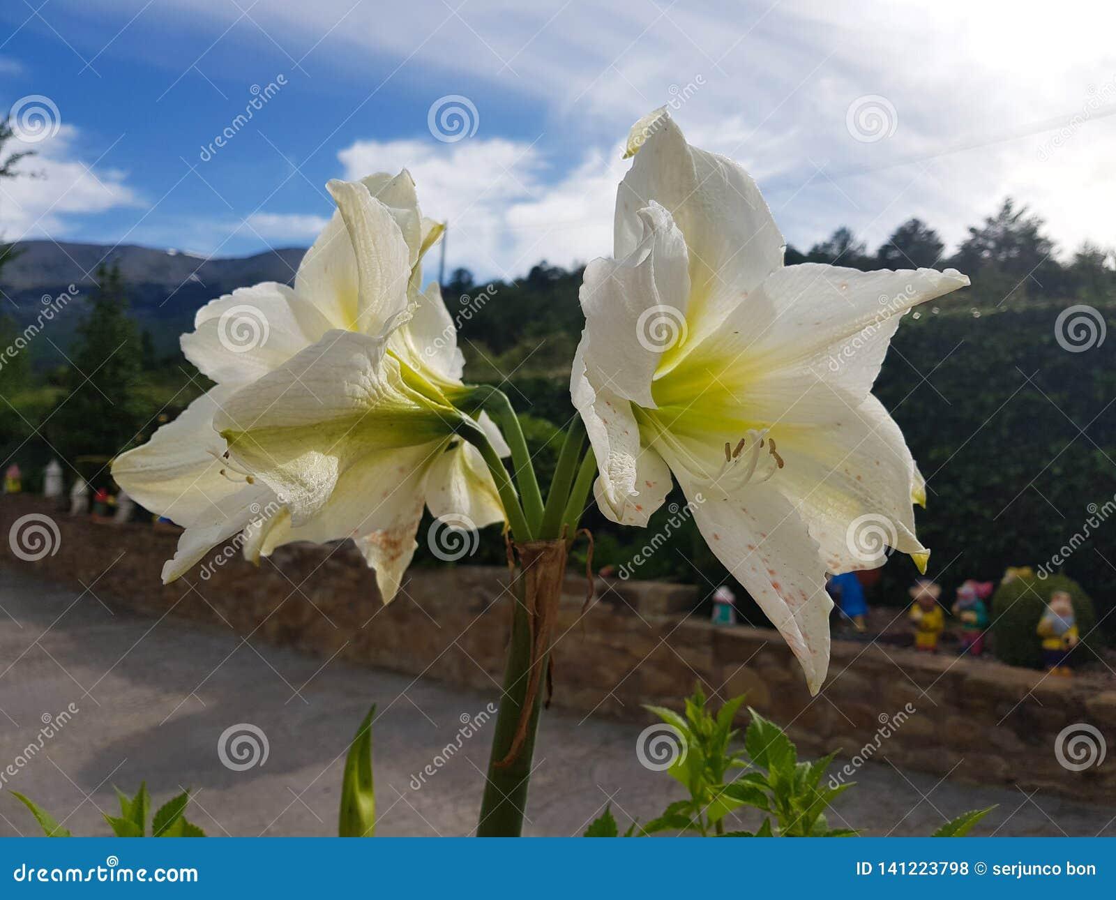Vittatum de Hippeastrum, flor de la amarilis en todo su esplendor con el fondo azul en el jardín