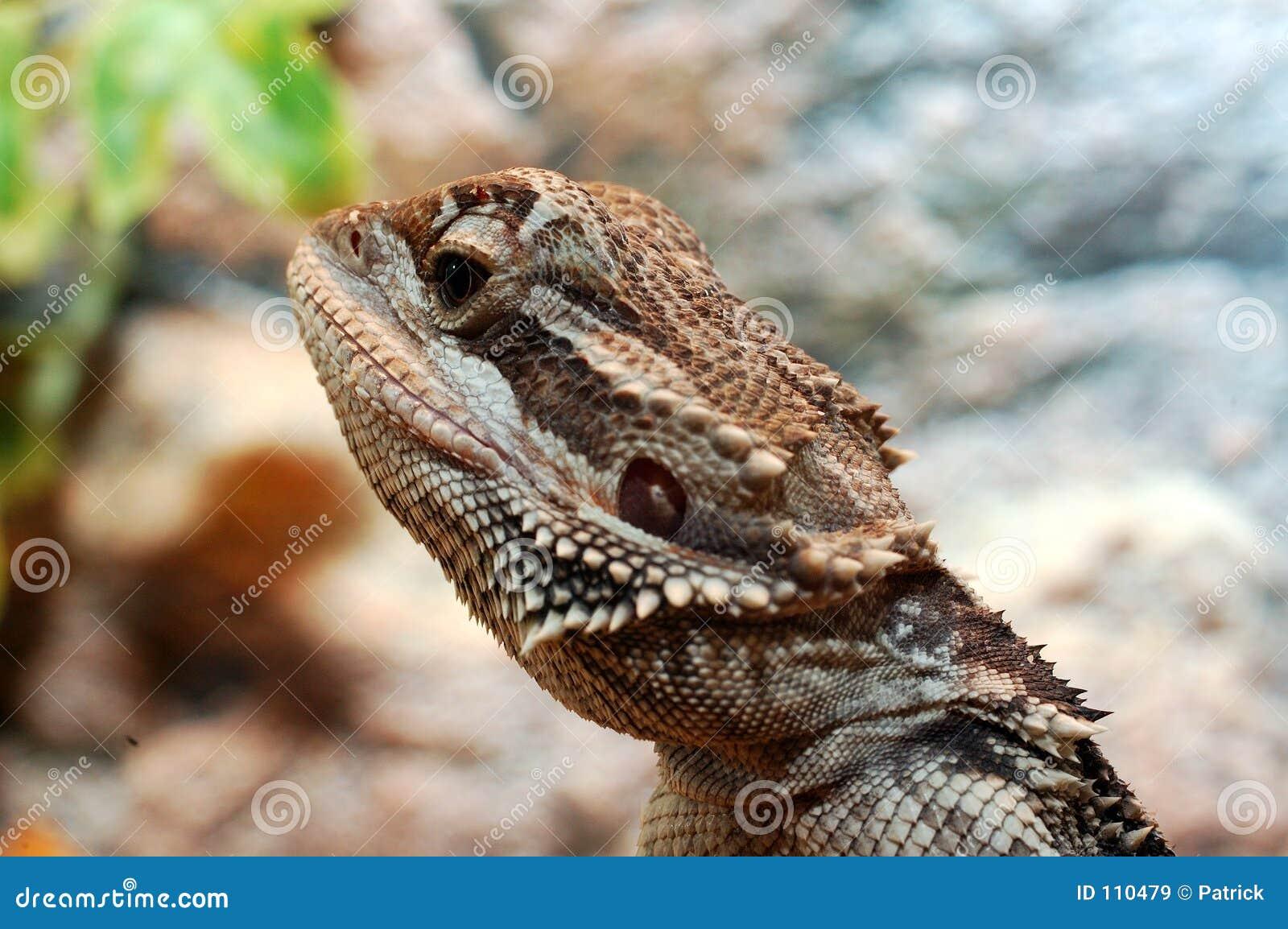 Vitticeps de Pogona, dragão farpado australiano.