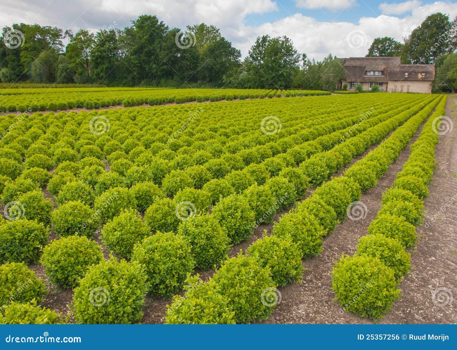 Vivaio di alberi del buxus nei paesi bassi immagine stock - Alberi bassi da giardino ...