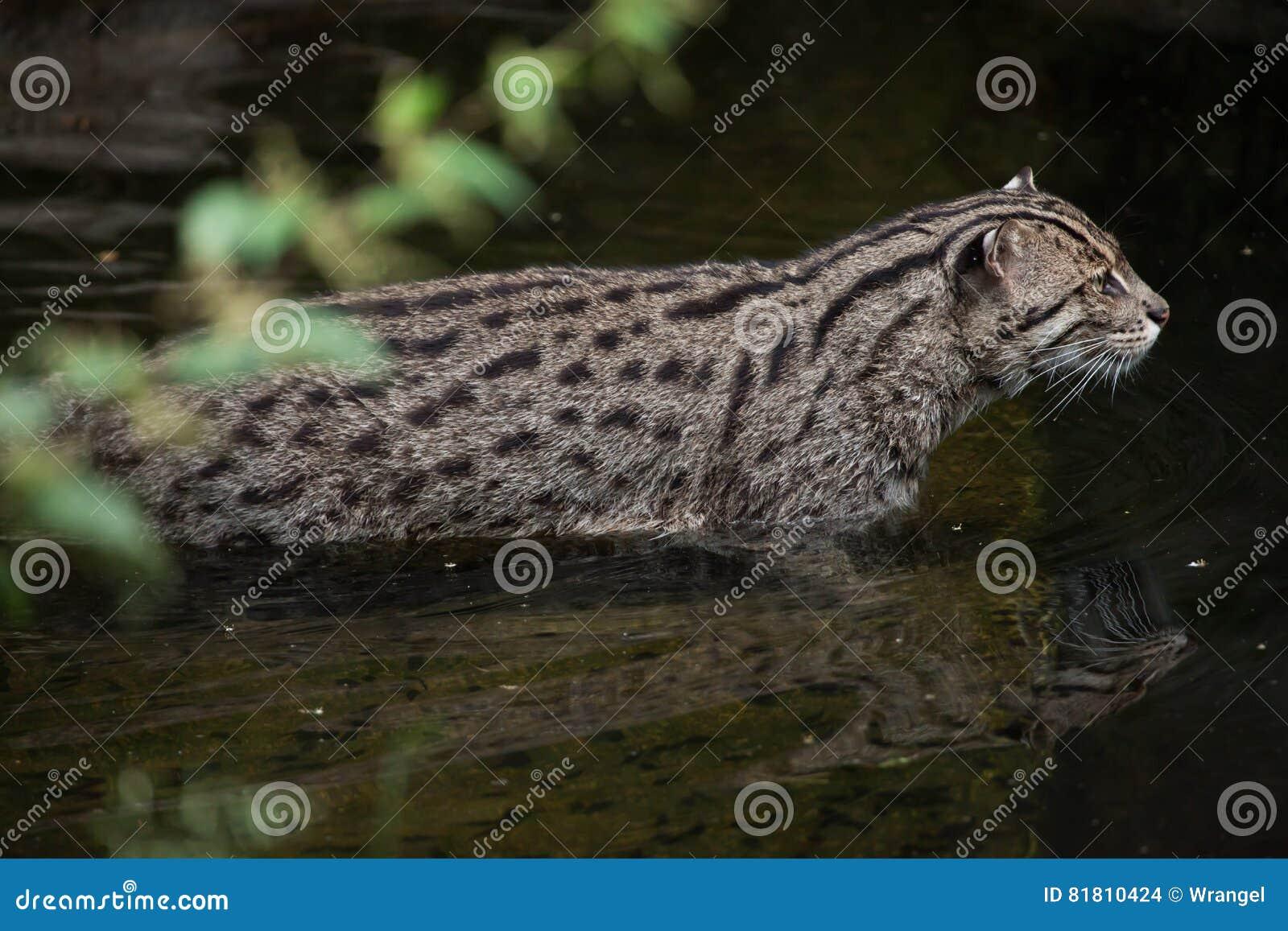 Viverrinus Prionailurus кота рыбной ловли