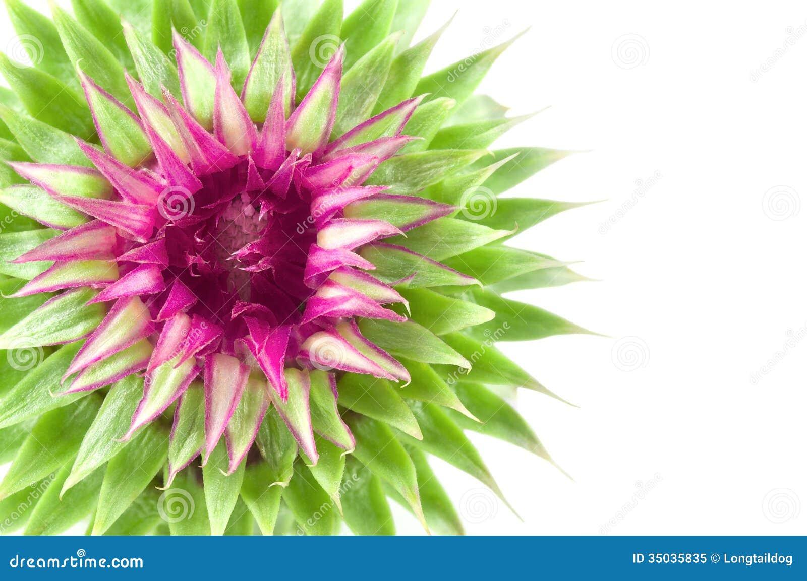 Vivid exotic flower stock image image of onopordum fairy 35035835 download comp mightylinksfo