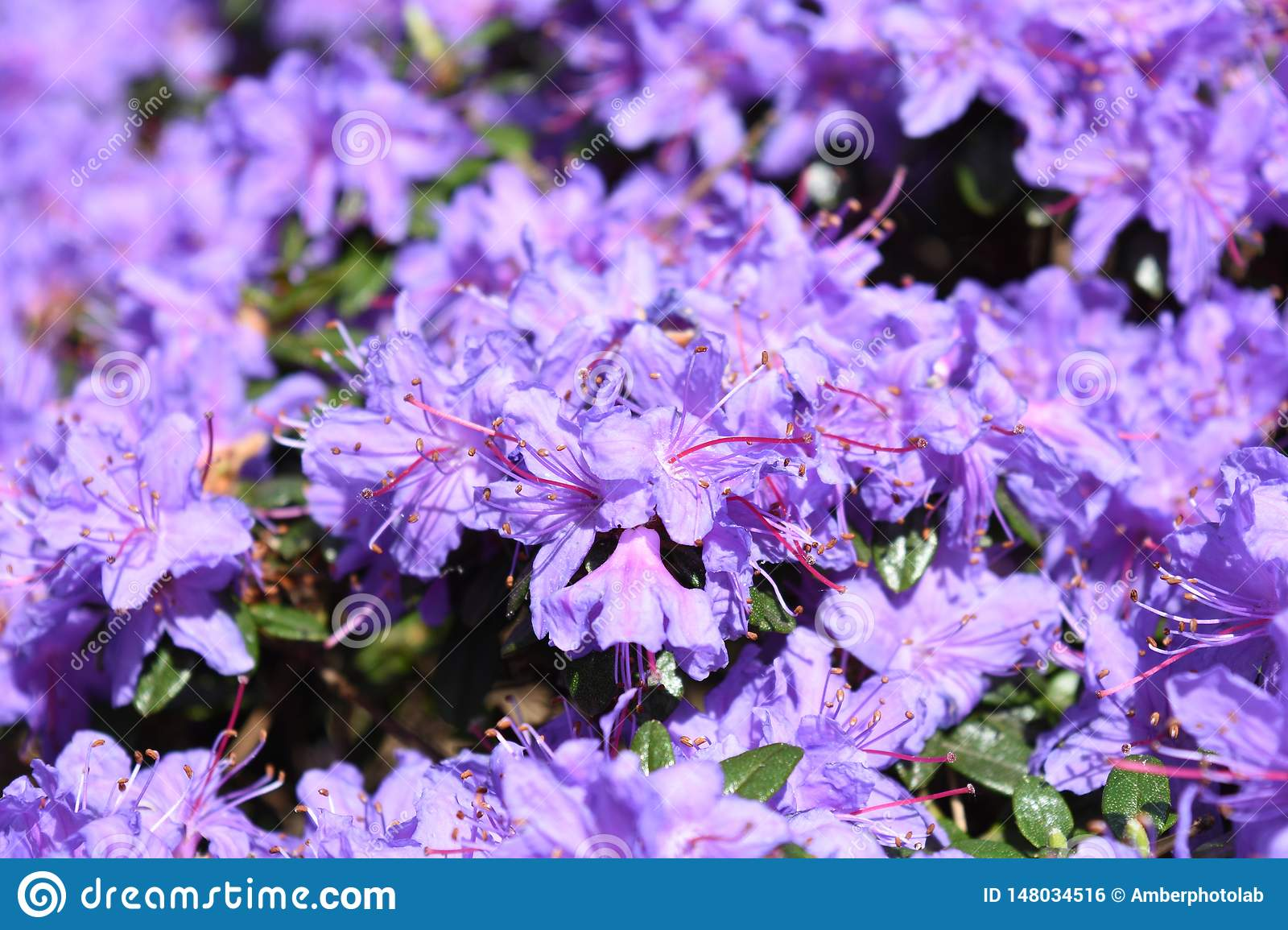 Vivid Light Purple Blue Rhododendron Flowers Blossom Bloom
