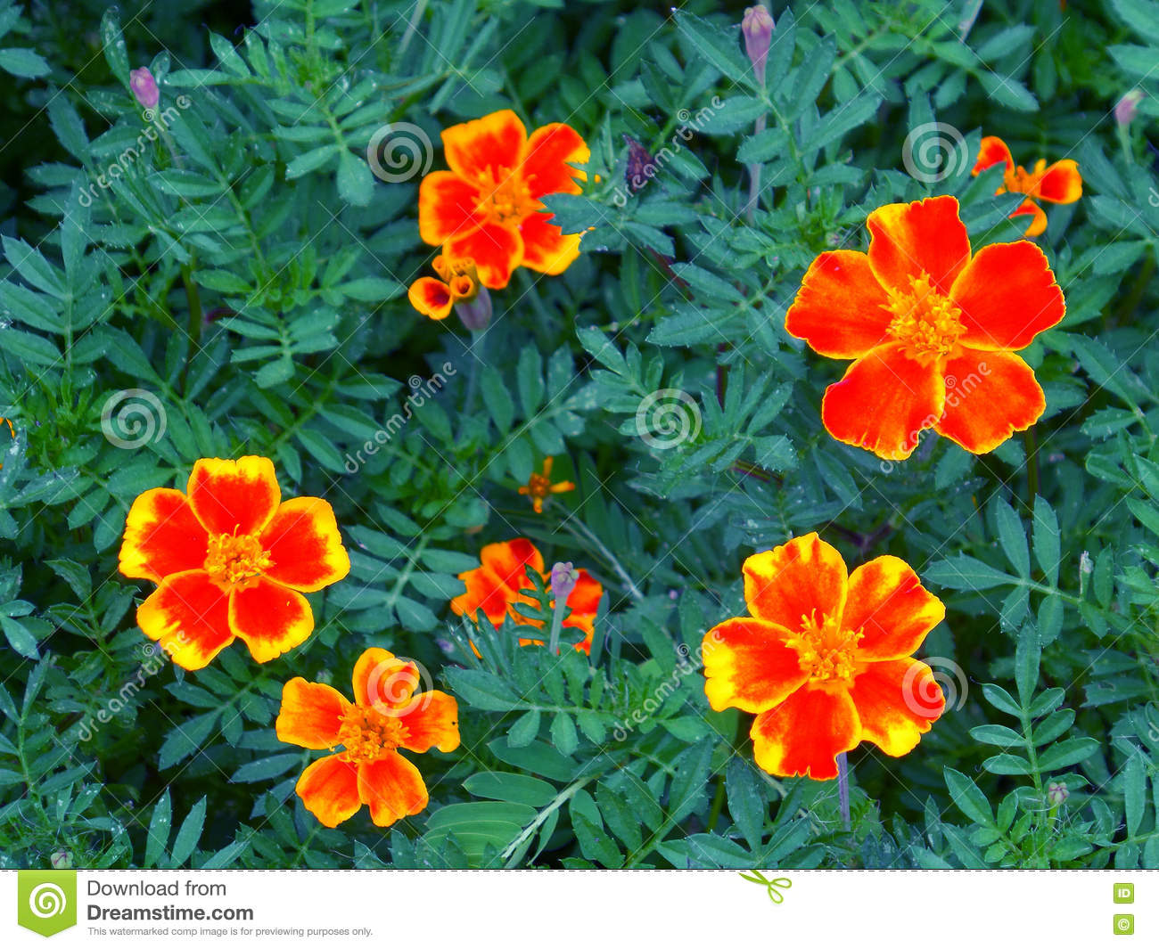 Vivid Orange And Yellow Two Tone Blooming Flowers On The Green