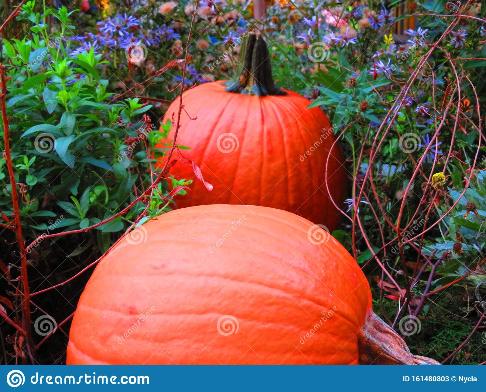 Vivid Pumpkin Patch Stock Image. Image Of Leaves, Grass