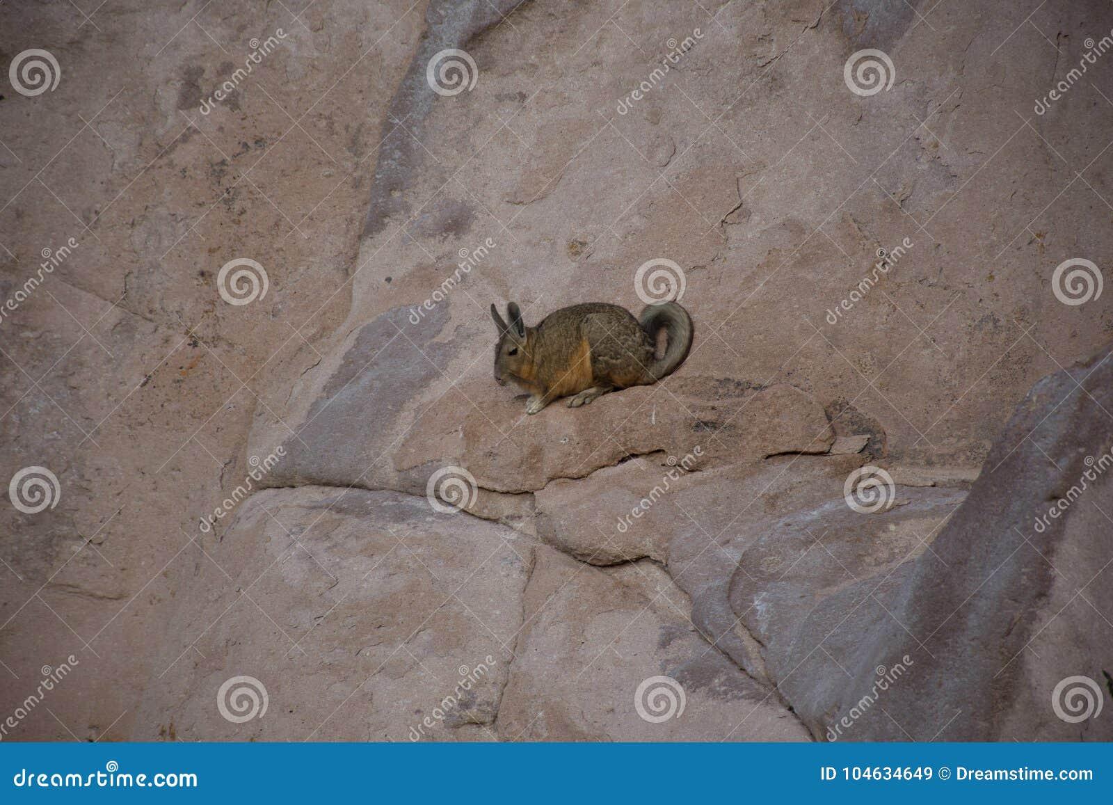 Download Vizcacha, dier, knaagdier stock afbeelding. Afbeelding bestaande uit life - 104634649