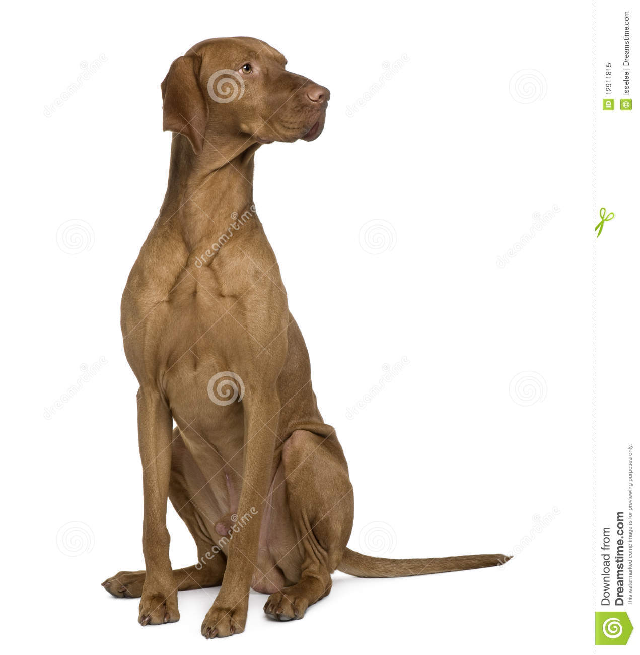Vizla dog sitting and looking away royalty free stock for Be a dog sitter