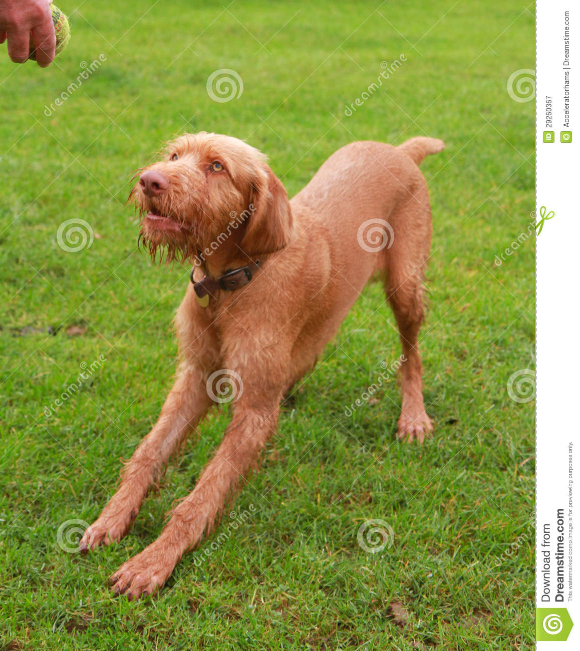 Male Vizsla Wirehaired Hungarian dog breed just under one year old