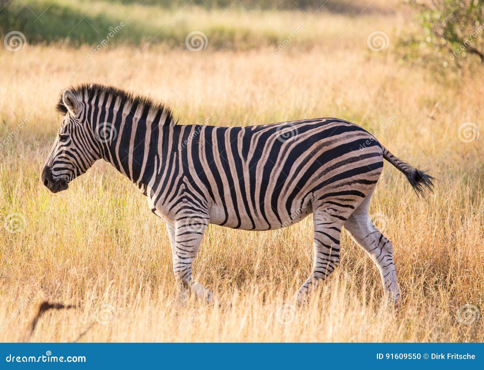Vlakteszebra bij het Nationale Park van Kruger