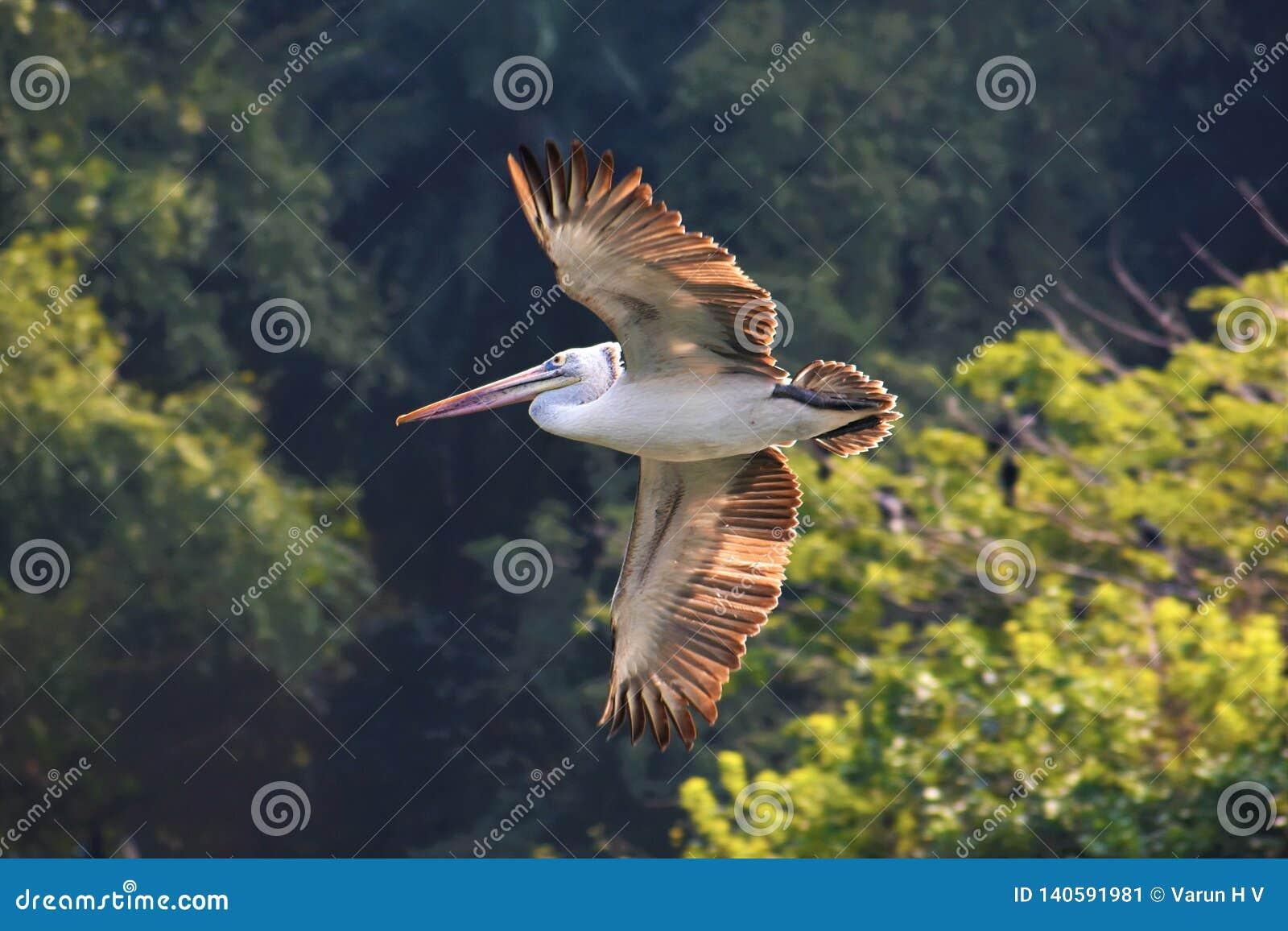 Vlek gefactureerde pelikaanvogel